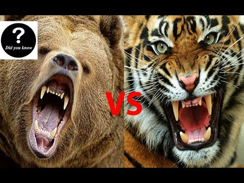 Siberian Tiger VS Kodiak Bear, Who Would Win || Did you know?