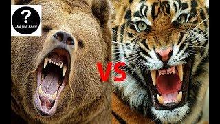 Siberian Tiger VS Kodiak Bear, Who Would Win || Did you know?
