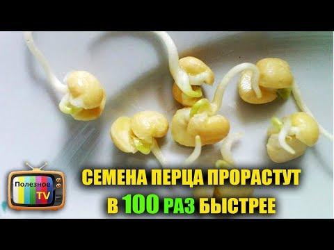 Как посадить болгарский перец из семян в домашних условиях