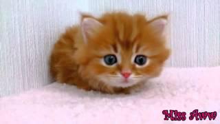 Флаффи, миленький котенок с голубыми глазами