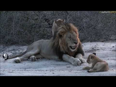 SafariLive Nov 12 -  Male lion Tinyo and the Styx cubs!
