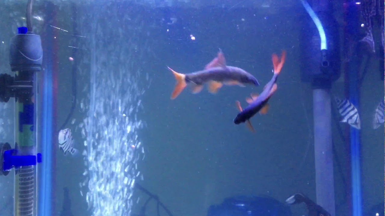 Rare rainbow shark mating video
