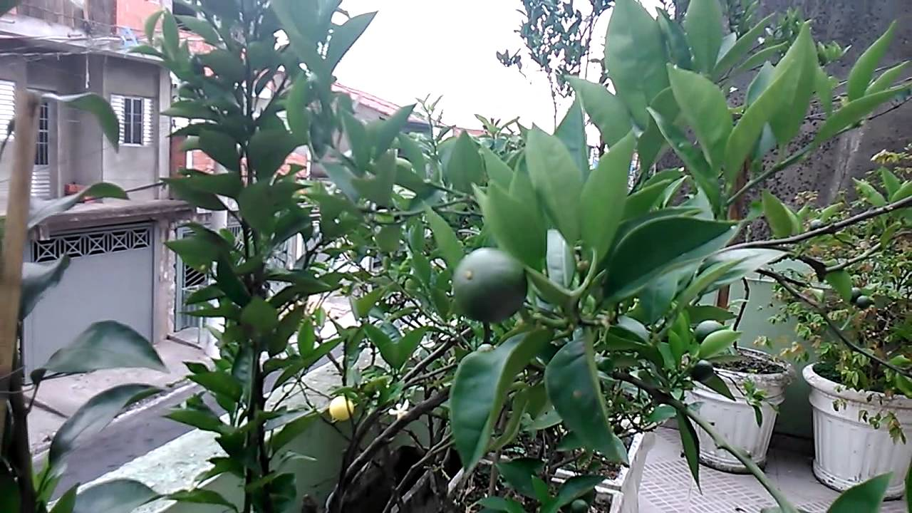 imagens de jardim horta e pomar:Pomar em vasos frutas em maturação – YouTube