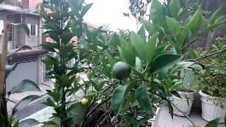 Pomar em vasos frutas em maturação
