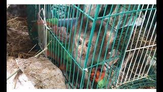 Beo monkey rescue journey ☹️