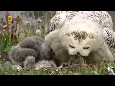 Anne kar baykuşunun çaresizliği, yürek dayanmıyor