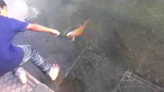 Fishes in sarover sahib