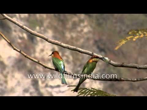 A pair of Chestnut-headed Bee-eaters sit on a tree limb - India