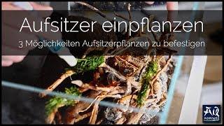 AUFSITZER RICHTIG EINPFLANZEN | so befestigst du Aufsitzerpflanzen im Aquarium | AquaOwner