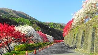 阿智村園原月川温泉郷 満開、花桃の里