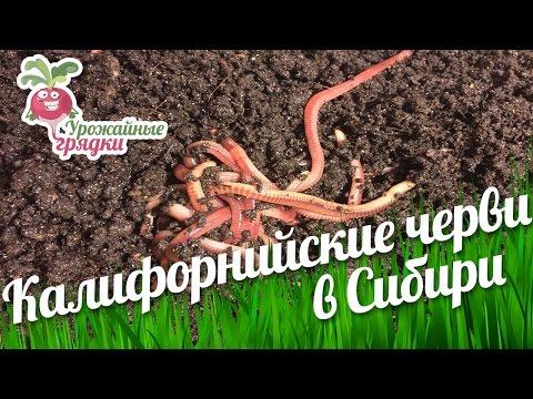 Калифорнийские черви в Сибири. Урожайные грядки.