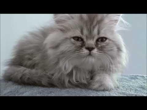 Funny and Cute Persian cat
