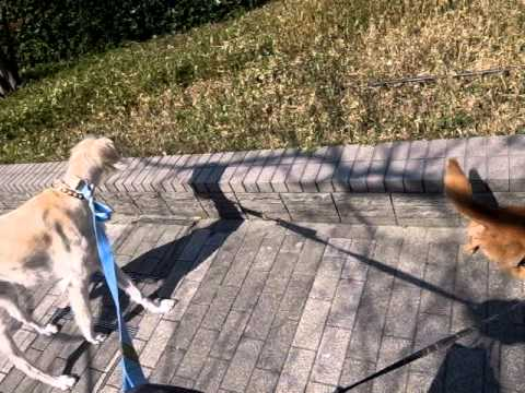 Saluki & Dachshund - walking together