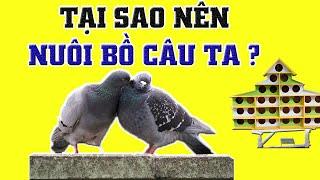 Tại Sao Nên Chọn Nuôi Chim Bồ Câu và Kỹ Thuật Nuôi Bồ Câu Ta mang lại hiệu quả kinh tế cao nhất