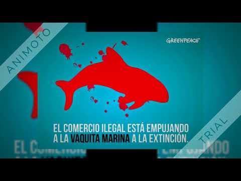 Vaquita marina en peligro de extinci%C3%B3n 1080p