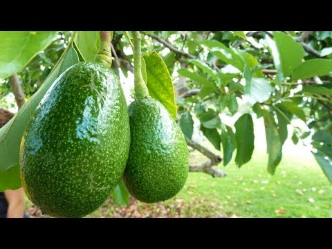 How to Grow Avocados in Containers - Complete Growing Guide