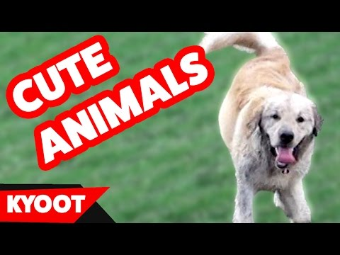 Funniest Cute Pets & Animals Bloopers & Silly Moments of 2016 Weekly Compilation | Kyoot Animals
