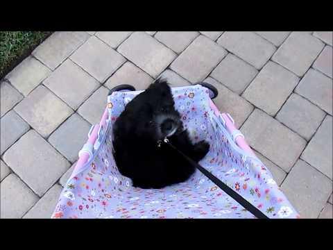 Bentley in the Doll Stroller~