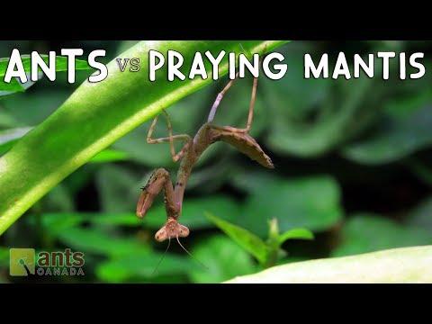 ANTS vs PRAYING MANTIS