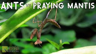 Ants vs. Praying Mantis