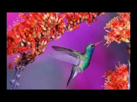 hummingbird wallpaper youtube