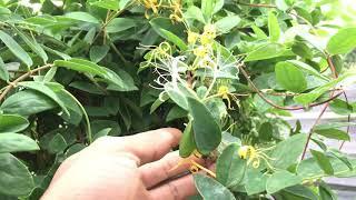 Cách trồng cây kim ngân hoa
