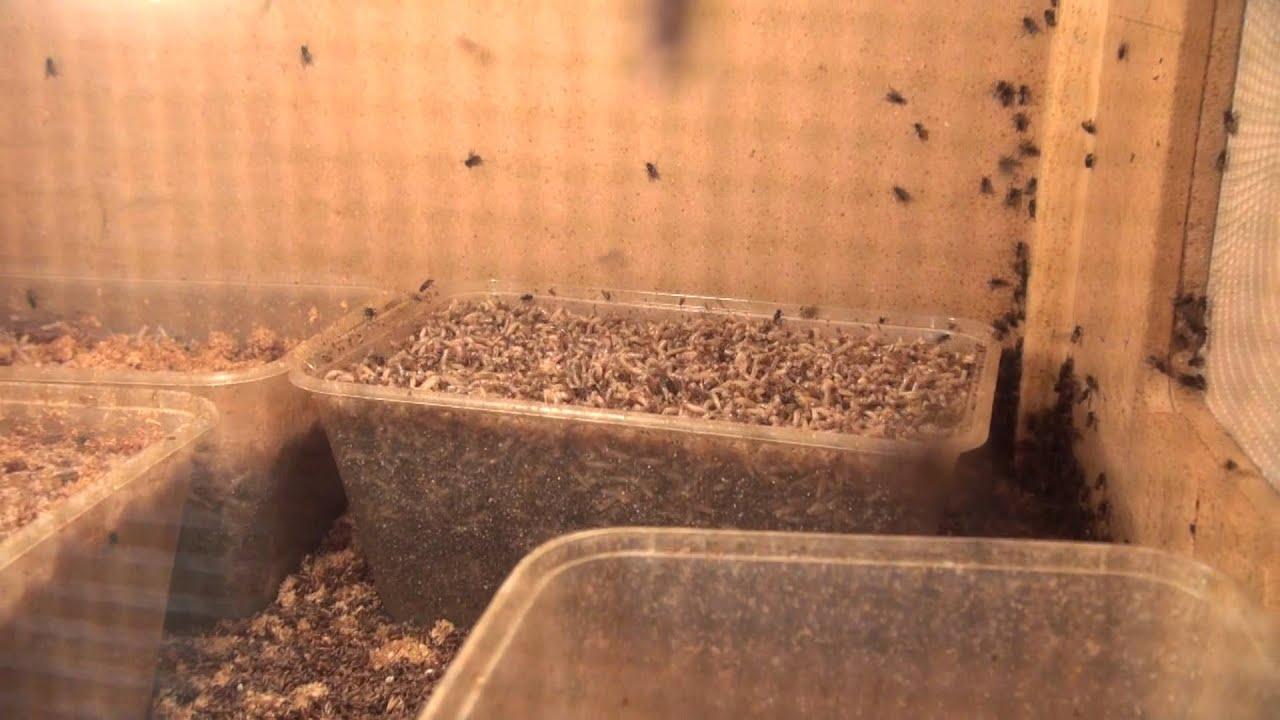 Inside A Fly Maggot Breeding Box Birdspyaus Youtube