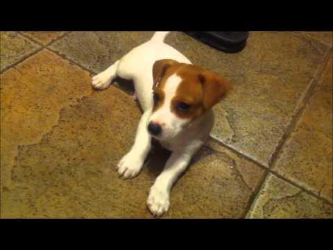 Cachorro jack russel de 45 dias youtube - Jack russel queue coupee ...