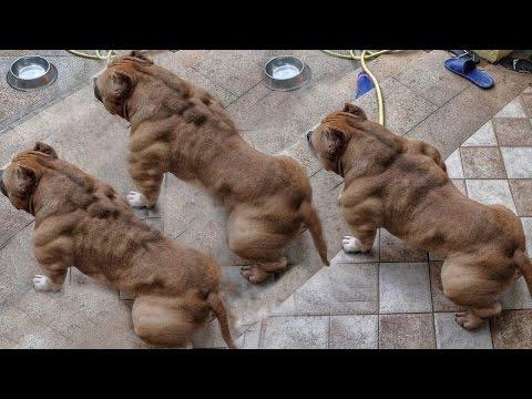 5 Razas de pitbull Únicas En El Mundo