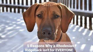 5 Reasons why a Rhodesian Ridgeback isn't for everyone!