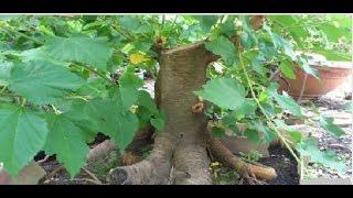 6 loại cây sau nhất định không được trồng trước cửa hay vườn nhà ở