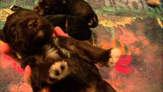 Clio/bentley 2 Week Old Miniature Schnauzer Puppies