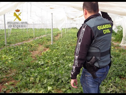 Desmantelan una plantación de marihuana sembrada en un melonar de San Javier