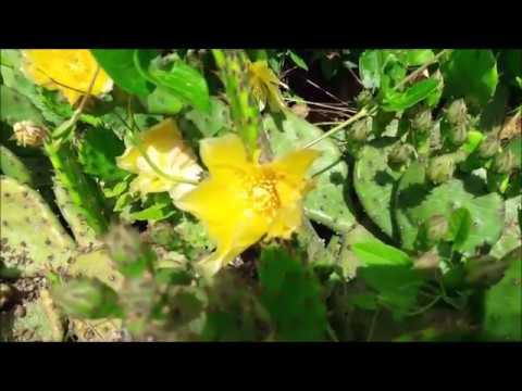 Опунция плоды.  в питании. Растение кактус
