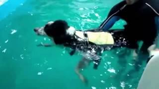 Занятие в бассейне у щенка бордер колли