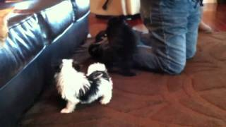 Morkie, Yorkie Poo, And Yorkie Pom Puppies Playing