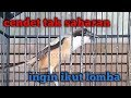 Cendet Gacor Isian Lovebird Dan Isian Kenari Kicau Ocehan  Mp3 - Mp4 Download