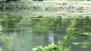 井の頭公園の池蘇ったのは水草だけじゃなかった06701CAE 061B 4A1A B807 79093F8C5D5B