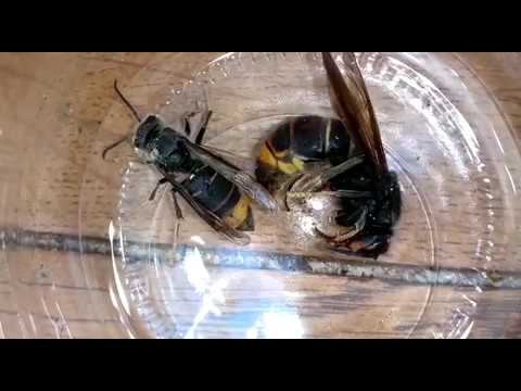 destruction nid frelon asiatique asian hornet nest destruction youtube. Black Bedroom Furniture Sets. Home Design Ideas