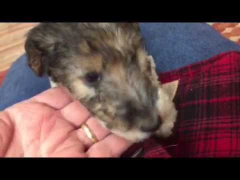 Wire Fox Terrier Red Ribbon