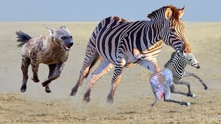 Hyenas destroy baby Zebra! Mother Zebra Save newborn Zebra escape from 10 Hyenas
