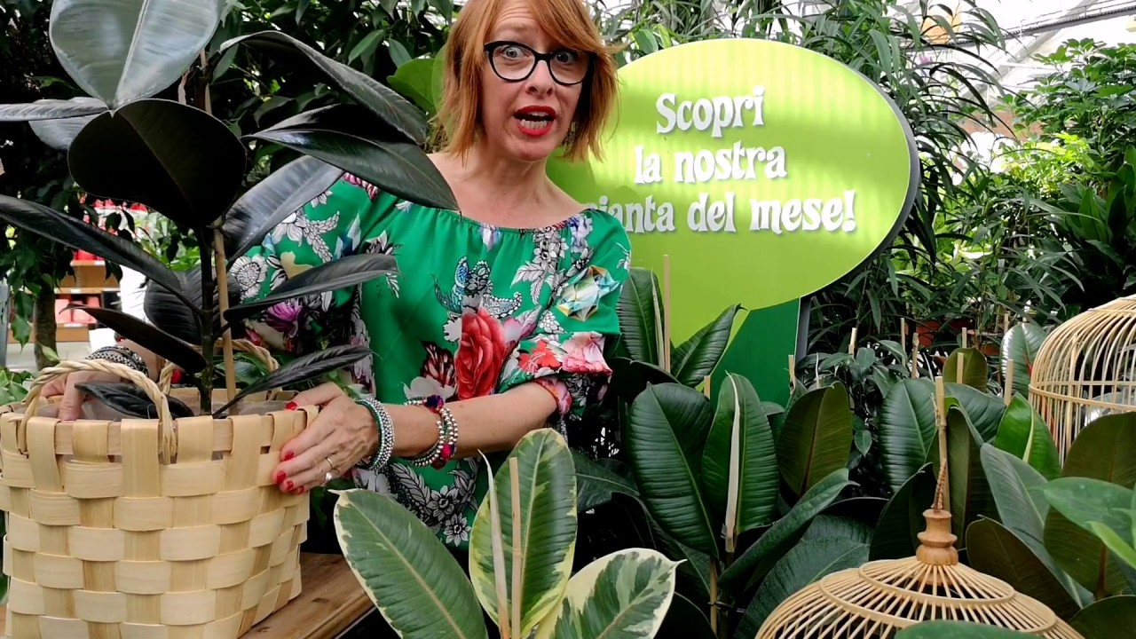 Potare Il Ficus Elastica ficus robusta come coltivarlo