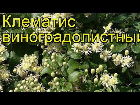 Клематис виноградолистный. Краткий обзор, описание характеристик clematis vitalba