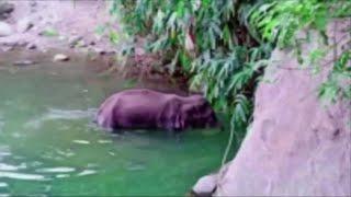 L'elefantessa Incinta Uccisa In India Fa Giro Del Mondo: Ha Mangiato Ananas Pieno Di Petardi