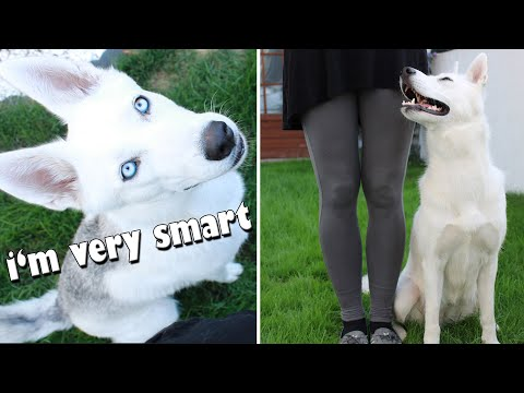 How Smart and Cute can a Husky be?