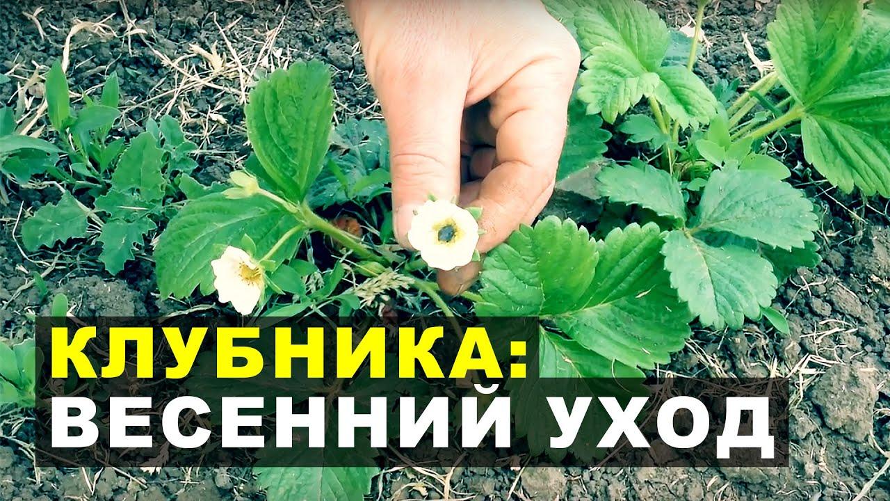Уход за клубникой весной. Как уберечь клубнику от замерзания?