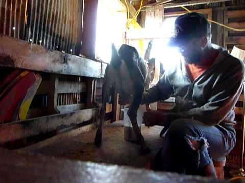 Goat Milking