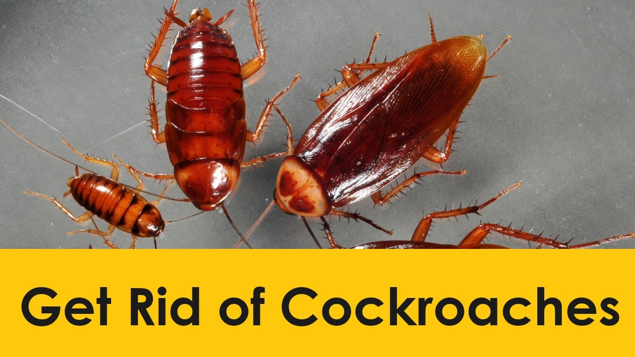 Get Rid Of Roaches Naturally