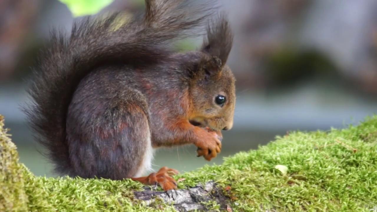 eichhörnchen mit nuss - youtube