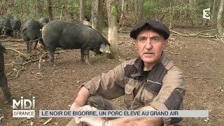 ANIMAUX : Le noir de Bigorre, un porc élevé au grand air